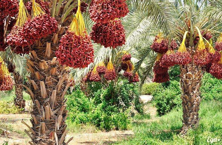 Финиковые пальмы, финики в сетках, как растут финики